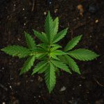 Speaking of bankless: Can you legally invest in cannabis stocks?