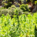 Medical Cannabis Qualifies for Tax Deductions in New Mexico Court Rules